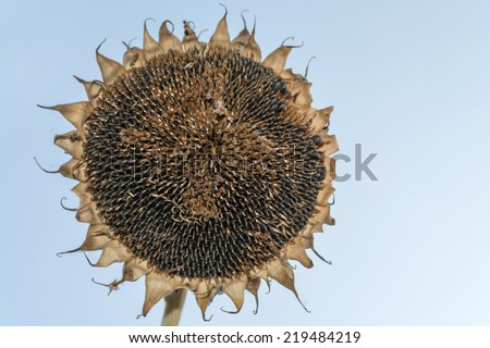 Autumn sunflower with ripe seeds isolated - stock photo