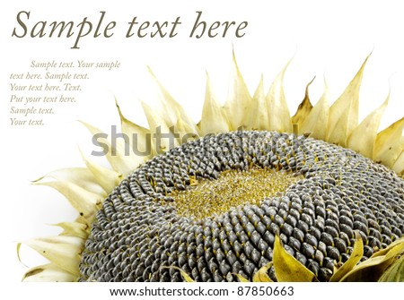 Autumn sunflower with ripe seeds isolated on white background with copy space and sample text - stock photo