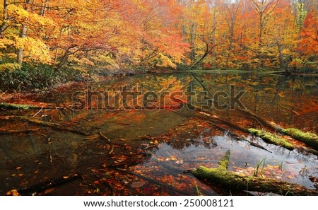Autumn Swamp Scenery. Protected wetlands and colorful autumn forest bathed in golden light. In Tsuta marsh, Towada Hachimantai National Park, Aomori, Japan. - stock photo