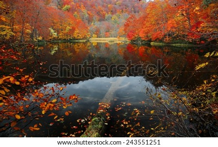 Autumn Swamp Scenery. Protected wetlands bathed in golden light and beautiful autumn foliage. In Tsuta marsh, Towada Hachimantai, Aomori, Japan. - stock photo