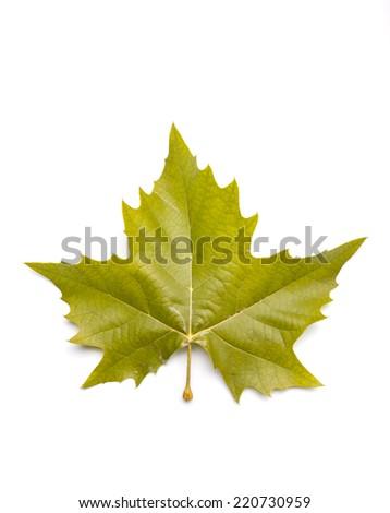 Autumn sycamore leaf - stock photo