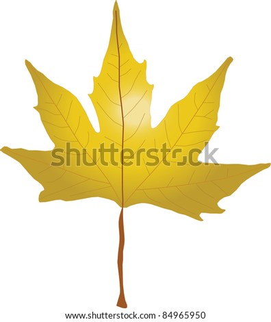 Autumn Sycamore Leaf on white background - stock photo