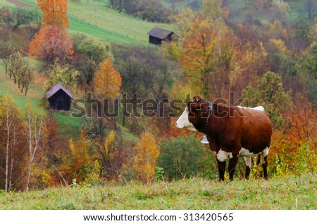 Autumn time. A brown cow with a bell around his neck. Mountain Village - stock photo