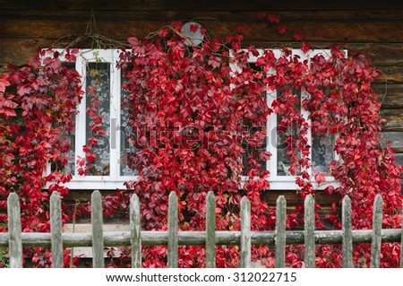 Autumn time. Red leaves of wild grapes on the windows of the house - stock photo