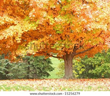 Autumn Tree - stock photo