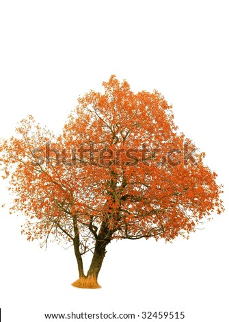 autumn tree in a white background