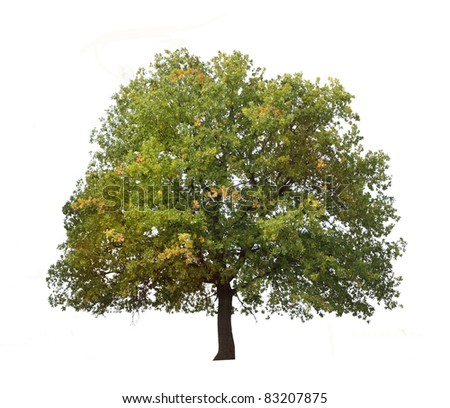 autumn tree isolated on white background. - stock photo