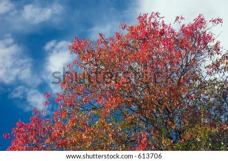 Autumn tree with a blue sky backdrop - stock photo