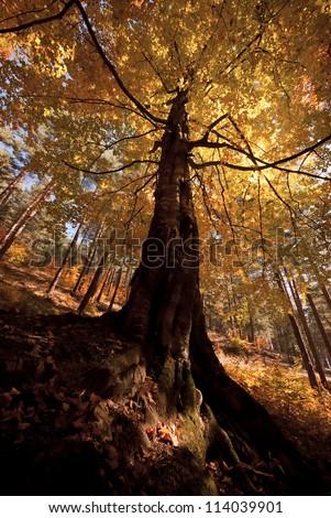 autumn tree with nice orange crown - stock photo