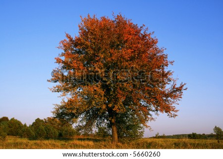 Autumn tree with red leaves - single and alone