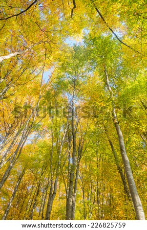 Autumn trees top in forest, blue sky shining through leaves - stock photo