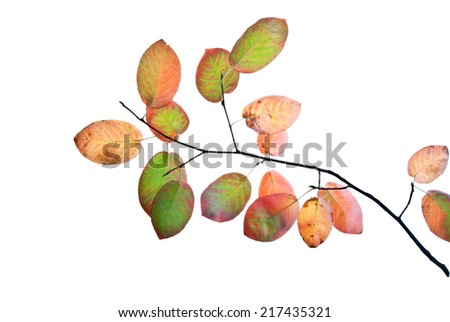 Autumn twig with multicolored leaves isolated on white  - stock photo
