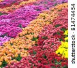 Autumn varicoloured chrysanthemum flower bad (striped background) - stock photo