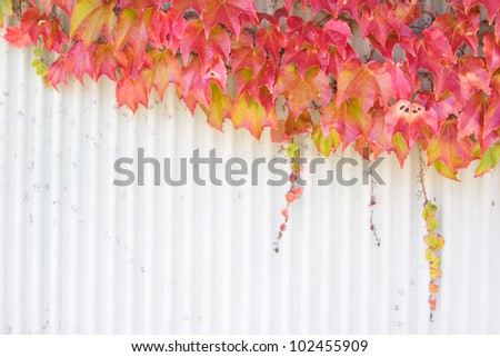 Autumn vine leaves growing over a wall, space for copy. Focus is on the leaves. - stock photo