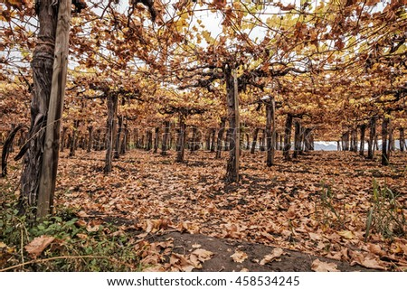 Autumn vineyard in Chile