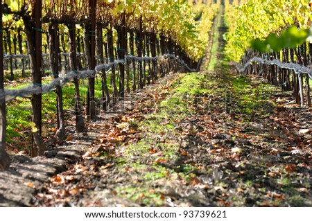 Autumn Vineyard in Napa Valley - stock photo