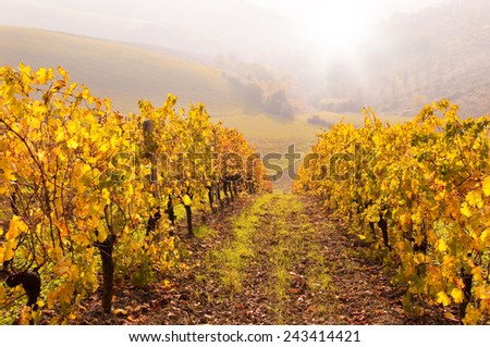 Autumn vineyard on sunset - stock photo