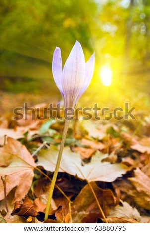 autumn violet flower in a rays of sun - stock photo