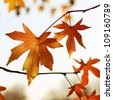 Autumn vivid maple leaves - stock photo