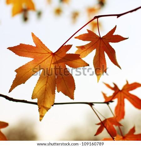 Autumn vivid maple leaves - stock photo