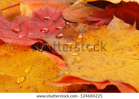 Autumn wet colorful leaves  of maple. texture - stock photo