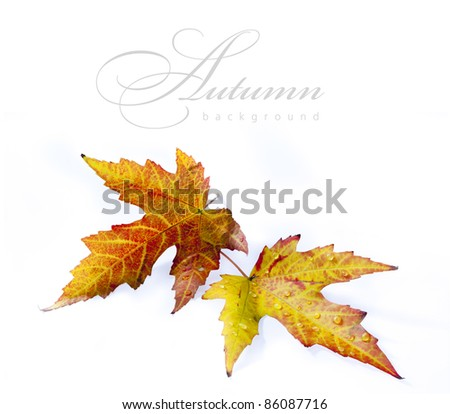 autumn wet maple leaf isolated on white background - stock photo