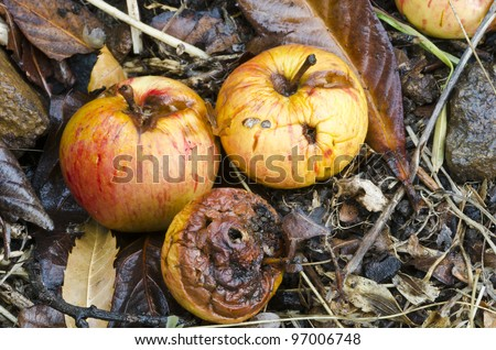 Autumn windfall apples - decomposing apples that have dropped from the tree in Fall - stock photo