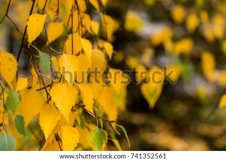 Autumn yellow birch tree leafs background with copy space.