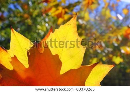 autumn yellow golden leaf macro closeup in forest - stock photo
