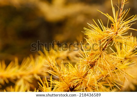 Autumn yellow larch tree