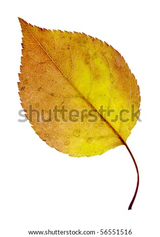 autumn yellow leaf isolated on a white