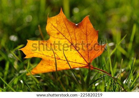 autumn yellow leaf on a green lawn, natural background - stock photo