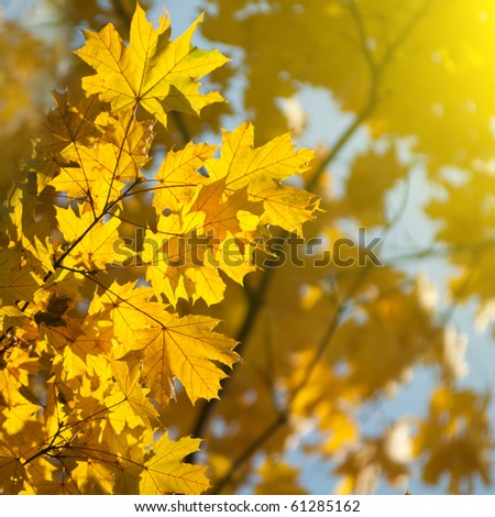autumn yellow leaves - stock photo