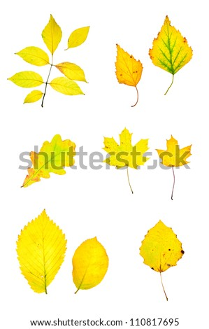 Autumn yellow leaves collection isolated on white - stock photo