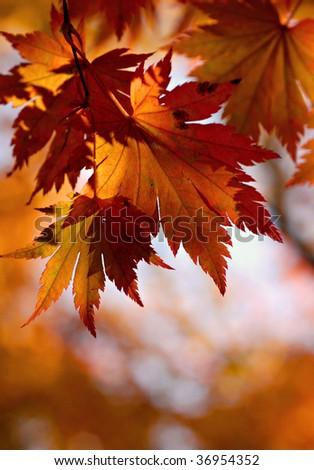 autumn, yellow maple leaves - stock photo