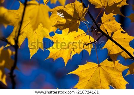 Autumn yellow maple leaves - tree details - stock photo
