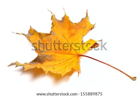 Autumn yellowed maple leaf isolated on white background. Selective focus. - stock photo