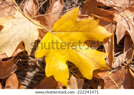 autumn yellows leaves