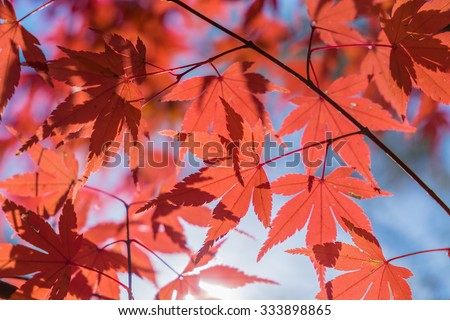 autumnal background, slightly defocused red maple leaves - stock photo