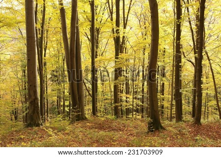 Autumnal beech forest at the beginning of November. - stock photo