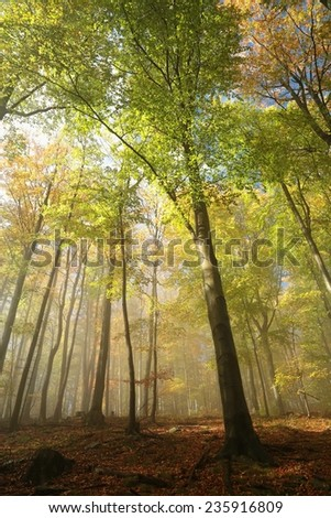 Autumnal beech forest in the fog. - stock photo