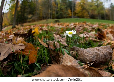 autumnal camomile in the park - stock photo