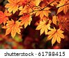 Autumnal colored leaves, maple - stock photo