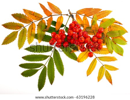autumnal colorful red rowan branch isolated on white - stock photo