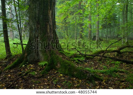 Autumnal deciduous stand of Bialowieza Forest Landscape Reserve with moss wrapped oak tree in foreground