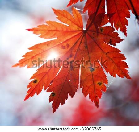 Autumnal design element - leaf of maple - stock photo