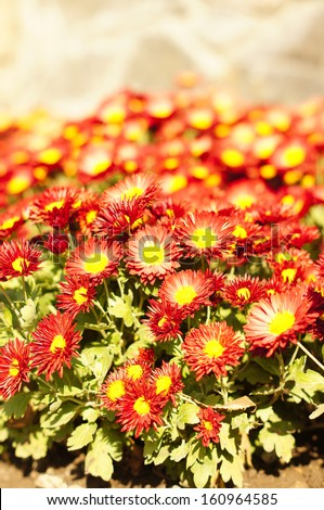 Autumnal flowers of beautiful chrysanthemum flower  in the garden