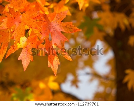 Autumnal foliage on an acorn tree - stock photo