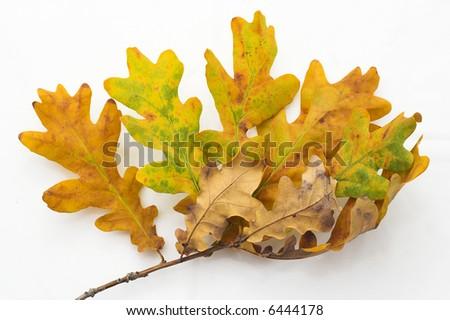 Autumnal Foliage on White Background - stock photo
