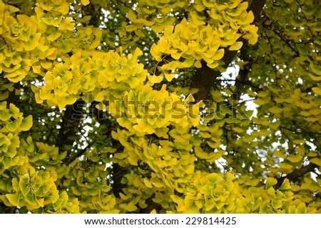 autumnal ginkgo biloba  tree with yellow leaves - stock photo